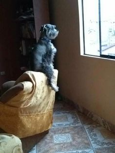 Ranked as one of the most popular dog breeds in the world, the Miniature Schnauzer is a cute little square faced furry coat. Schnauzers, Schnauzer Breed, Miniature Schnauzer Puppies, Giant Schnauzer, Schnauzer Grooming, I Love Dogs, Cute Dogs, Silly Dogs, Most Popular Dog Breeds
