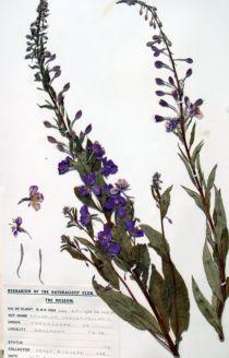 Rosebay - Onagraceae epilobium angustifolium