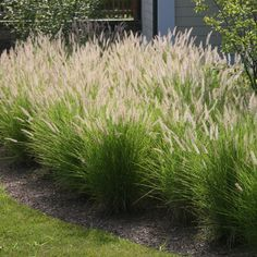 How To Select Little One Dresses Pennisetum Alopecuroides 'Hameln' Fountain Grass - Deciduous Crocus