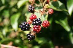 Blackberry, Berries, Blackberries, Food
