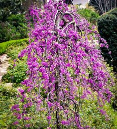 Lavender Twist Redbud Shrubs For Sale Online Tree With Purple Leaves, Trees With Flowers, Top Flowers, Pink Flowers, Weeping Trees, Flowering Trees, Redbud Trees, Eastern Redbud, Trees Online