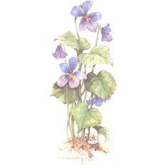 Violet 12 x 6 lithograph Botanical Illustration, Botanical Prints, Watercolor Flowers, Watercolor Paintings, Flower Art, Art Flowers, Painting Inspiration, Painting & Drawing, Flora