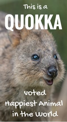 What the heck is a Quokka? The Quokka is a small macropod living on Rottnest Island. Much like it's family (kangaroos and wallabies) the quokka is herbivorous and primarily nocturnal. Read more about Quokka's on Travel With Bender Family Travel Blog about Rottnest, Western Australia.