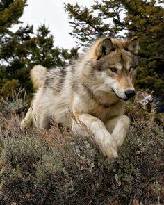 Snow leopard, black leopard, wolf from Animals of Monatana Wolf Photos, Wolf Pictures, Wolf Love, Beautiful Creatures, Animals Beautiful, Cute Animals, Wolf Spirit, Spirit Animal, Pet Shop