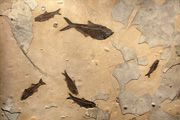 Eostone Fossil Gallery - Fossil murals and tables
