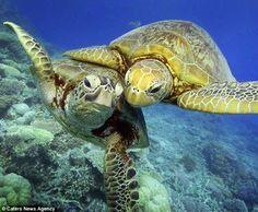 Hawaiian Green Sea Turtles.....so sweet!