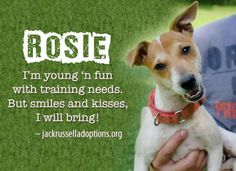 Today's featured Jack Russell rescue for foster or sponsorship - Rosie!