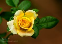 TINY YELLOW ROSE!! - SHOT IN OUR DAUGHTER'S GARDEN IN COLLEGE STATION TEXAS