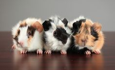 Petfinder Adoptable   Guinea Pig   Guinea Pig   Toronto, ON   Arugula, Aubergine & Courgette