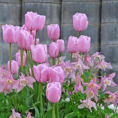 """""""1947 wurde in einer Gruppe roter Tulpen der Sorte Utopia eine phänomenal schöne rosa Tulpe gefunden: Pink Supreme."""" - Carlos van der Veek. Pflanzzeit ist im Herbst - online bestellbar bei www.fluwel.de"""