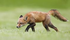 In a hunting mode... 365 days fox marathon Day 157 #365daysfoxmarathon #photography #play