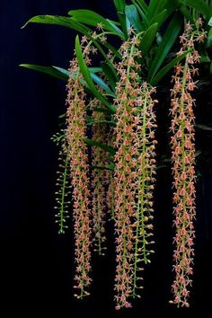 Liparis lacerata orchid