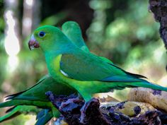 Foto periquito-rico (Brotogeris tirica) por José Carlos Garcia | Wiki Aves - A Enciclopédia das Aves do Brasil