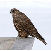 Gyrfalcon habitat, behavior, diet, migration patterns, conservation status, and nesting.