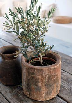 Olive tree in wood pot Indoor Garden, Indoor Plants, Home And Garden, Wabi Sabi, Olivier En Pot, Cactus Y Suculentas, Olive Tree, Wood Bowls, Plantation