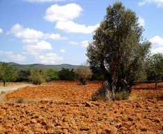 A beautiful picture of an olive tree near San Mateu. :)