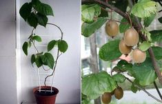 Home grown kiwi! Container Gardening, Gardening Tips, Household Plants, Fruit Trees, Kiwi, House Plants, Landscape Design, Farmer, Plant Leaves