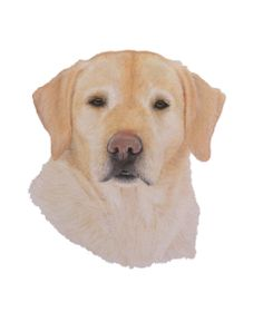 Yellow Labrador - Pastels on paper Tiffany Landale - Bespoke Portraiture -  www.foxkay.co.uk Pastels, Bespoke, Tiffany, Labrador Retriever, Yellow, Paper, Dogs, Animals, Taylormade