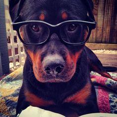 #Cute #Rottweiler