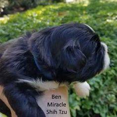 93 Best Shih Tzu Puppies Images On Pinterest Baby Shih Tzu Shih