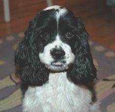 black and white cocker spaniel puppies | black and white parti color cocker spaniel puppy!  Such a sweetie...I am loving this cutie pie :)