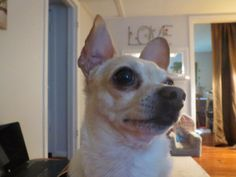 Baby Blogging Boomer: This is my Buddy.  Rascal jumped up in my lap to tell me someone was at the door.  He doesn't believe a knock is adequate to announce a visitor.  Luckily, there is no sound on this post so you missed the barking.  Cute little fella, huh?