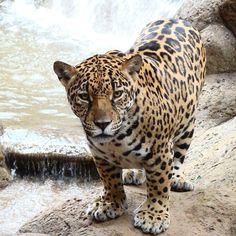 Beautiful jaguar at La Paz Waterfall Gardens in Costa Rica #nature #vacations