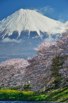 Cherry blossom and Mount Fuji, Japan http://exploretraveler.com http://exploretraveler.net