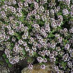 THYMUS FRAGRANTISSIMUS