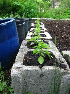 Basil in raised bed concrete blocks. Use as perimeter of raised bed garden.