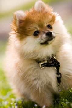 April 15th is the 100 year anniversary of the sinking of the Titanic. I was surprised to learn there were 12 dogs on board--3 of them survived, including two Pomeranians.
