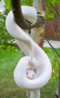 White snake on a birch