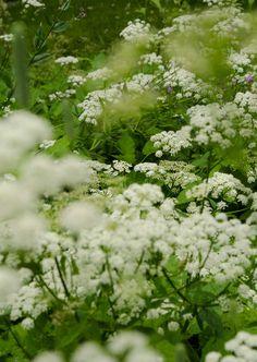 Nu blommar kirskålen så vackert. Vi slår alltid bort det mesta men en liten plätt får stå kvar och blomma. Foto: Liselotte Forslin