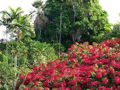 Hawaiian Christmas Flower, Fields of Poinsettia
