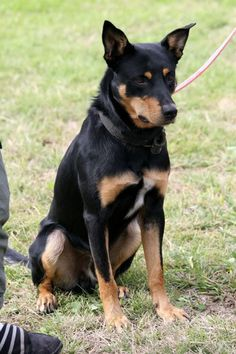 Australian Kelpie...clearly, I've been mistaken in assuming Scout was just a tiny German Shepherd!
