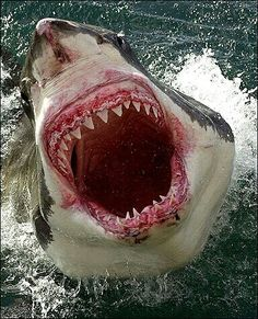 Great White Shark - Thank goodness you will be protected by that surfboard...