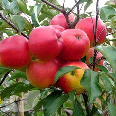 Apple Falstaff Blackmoor Nurseries