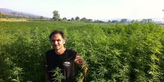 Canapa: la coltivazione del futuro