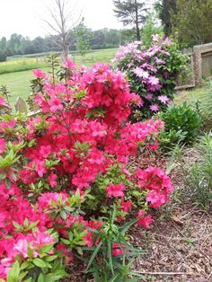 Azaleas and clematis by the gate.