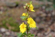 Smoky Mountain Wildflowers on a Trail