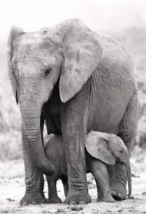 Mother and Baby Elephant Poster, Elephants, Love, African Wildlife, Mother Nature Baby Elephant Pictures, Elephants Photos, Save The Elephants, Baby Elephants, Elephant Images, Mother And Baby Elephant, Elephant Love, Giraffe, Elephant Family