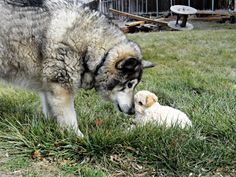 A large, fluffy dog nuzzling noses with a tiny, tan dog.