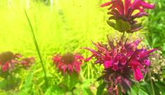What's In Bloom: Meadow Lovers - Toronto Botanical Garden Crocosmia, Botanical Gardens, Planting Flowers, That Look, Bloom, Lovers, Happy, Plants, Summer