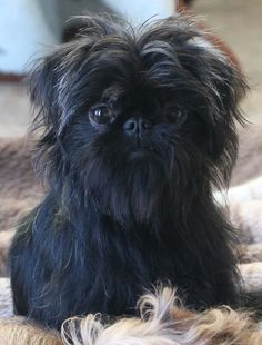 They may have been crossed with Pugs, smoothcoated German Pinschers, and a dog known as the German Silky Pinscher. Affenpinscher-type dogs also contributed to the development of other breeds, including the Brussels Griffon and the Miniature Schnauzer. It's easy to see their relationship when you look at their rough coats and bearded faces. Read more at http://dogtime.com/dog-breeds/affenpinscher#cZSrDViXaW0q2CDT.99 #miniaturedogbreeds