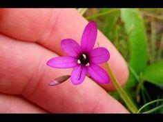 Geissorhiza foliosa - aspera, inflexa, species Rare Species, Bulb Flowers, Planting Flowers, Rings, Jewelry, Plant, Jewlery, Jewerly, Ring