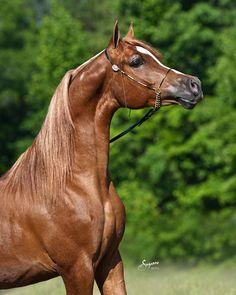 Stallions | Arabian Horses of Cypress Creek Ranch Arabians | Starkville, Mississippi MS Eden Flame