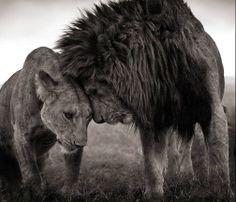 Lions Head to Head, Masai Mara 2008. Nick Brandt. http://www.nickbrandt.com/Category.cfm  Love