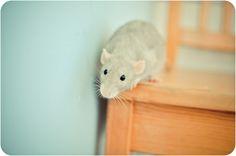 Eloise, The Rat | Flickr: explored #353