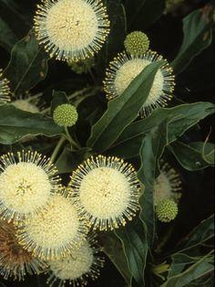Amazing Unusual Plants To Grow In Your Garden Unusual Flowers, Unusual Plants, Amazing Flowers, White Flowers, Beautiful Flowers, Australian Native Garden, Australian Native Flowers, Australian Plants, Deco Nature