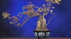 L'érable trident est souvent utilisé pour réaliser des bonsaï parce qu'il se ramifie très rapidement  #images #plantes #arbre #bonsaï #érable